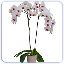 Potted Orchid Flower - Big