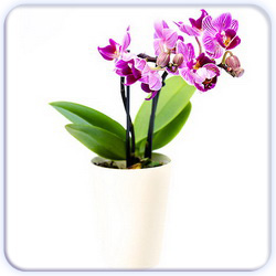 Potted Orchid Flower - Small